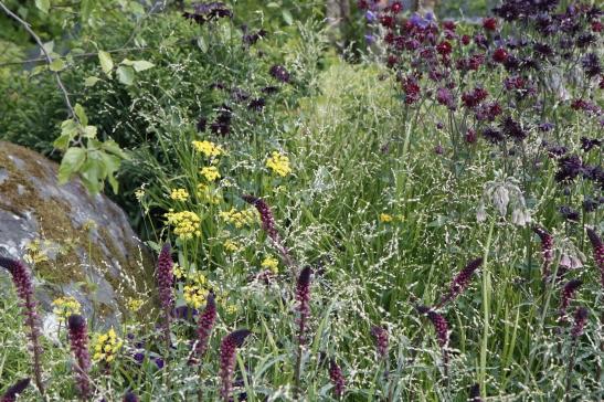 Lysimachia purpurea Beaujolais and aquilegia